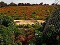 Barren, Roses Valey, Shfela, Israel שדה בור, עמק השושנים, שפלת יהודה - panoramio.jpg