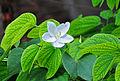 Bauhinia acuminata 24 08 2012 01.JPG