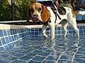 Beagle con lengua.jpg
