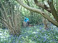 Bee Hives and Bluebells in Mayalls Coppice - geograph.org.uk - 103768.jpg