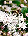 Bee amongst flower heads.jpg