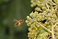 Bee approaching ivy flowers (37677188962).jpg