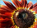 Bee on a Red Sunflower (2) (10386702973).jpg