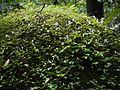 Begonia crenata (4894012641).jpg