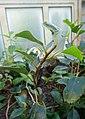 Begonia loranthoides subsp. loranthoides-Jardin botanique de Berlin (4).jpg