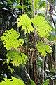 Begonia parviflora (Begoniaceae) (30269268940).jpg