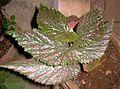 Begonia plant 17.JPG