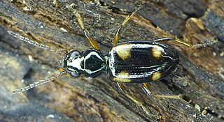 <i>Bembidion</i> genus of insects