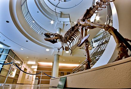 A T-Rex replica at the UC Museum of Paleontology Berkeley T-rex - Flickr - Joe Parks.jpg