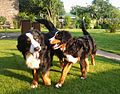 Bernese mountain dogs adult and pup.jpg