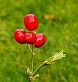 Bessen van Aucuba japonica. Locatie, Tuinreservaat Jonker vallei 03.jpg