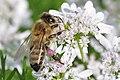 Biene auf Koriander 002.jpg