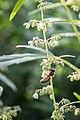 Biene im Hanffeld - Flickr - blumenbiene.jpg