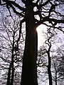Big tree - panoramio - BarnyS1.jpg