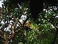 Bird White throated Brown Hornbill Anorrhinus austeni IMG 8142 05.jpg