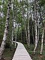 Birken und Steg im Schwarzen Moor, BR Rhön, Bayern.jpg