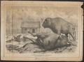 Bison americanus - 1700-1880 - Print - Iconographia Zoologica - Special Collections University of Amsterdam - UBA01 IZ21200217.tif