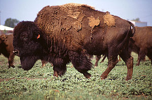 Dana Claxton - An American bison