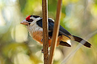 Black-backed Barbet, Sakania, DRC (7187413808).jpg