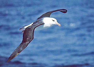 Wind gradient - This albatross is an expert in dynamic soaring using the wind gradient.