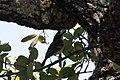Black-capped Vireo Kerr WMA Kerrville TX 2018-05-06 10-19-54-2 (42881554534).jpg