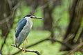 Black-crowned Night Heron @ IITM.jpg