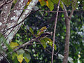 Black-headed Saltator (Saltator atriceps).JPG
