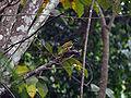 Black-headed Saltator (Saltator atriceps).JPG