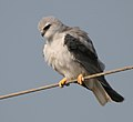 Black-shouldered Kite (Elanus caeruleus) in Kawal WS, AP W IMG 1667.jpg