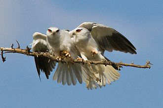 Black-winged kite - A courting pair with a rodent