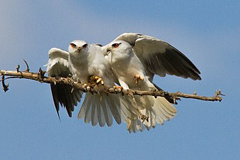 Black-winged kite 02.jpg
