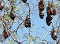 Black Flying Fox. Pteropus alecto - Flickr - gailhampshire (1).jpg