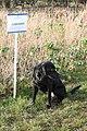 Black Labrador - geograph.org.uk - 329153.jpg