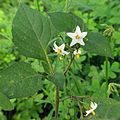 Black Nightshade - Flickr - treegrow.jpg