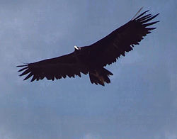 Black Vulture in flight.jpg