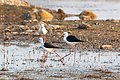 Black Winged Stilts playing in the water (47135645012).jpg