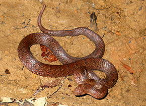 Description de l'image Black cross-barred Kukri snake Oligodon cinereus.jpg.