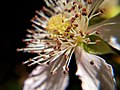 Blackberry Blossom No. 8.jpg