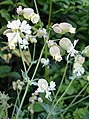 Bladder Campion (Silene vulgaris) - geograph.org.uk - 188116.jpg