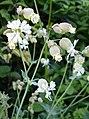 Bladder Campion (Silene vulgaris) - geograph.org.uk - 188116.jpg