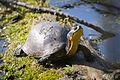 Blanding's turtle (Emydoidea blandingii) (17812011862).jpg