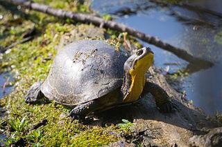 Blandings turtle species of reptile
