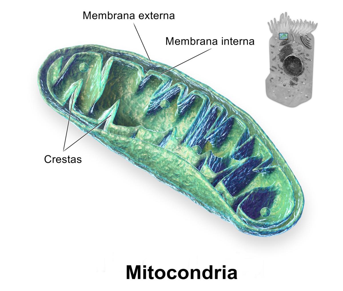 Organismos sin mitocondria  Wikipedia  la enciclopedia libre