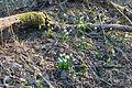 Bledule jarní v PR Králova zahrada 55.jpg