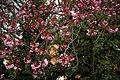 Blooming cherry at Rhodes Arts Complex Bishop's Stortford Hertfordshire England.jpg