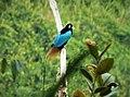 Blue Bird of Paradise Paradisaea rudolphi (48837228088).jpg