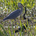 Blue Heron and two toed amphiuma (6074193002).jpg