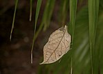 Blue Oak leaf.JPG