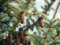 Blue Spruce (Picea pungens) in Bryce Canyon National Park.jpg