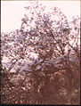 Blue Tree in Madeira, by Sarah Angelina Acland, c.1910.jpg
